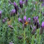 Lee-Ann-Torrans-Texas-Spanish-Lavender