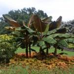 Banana Tree at Dallas Arboretum