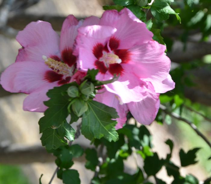Hardy hibiscus shrub tree texas lee ann torrans 4 lee for Hardy flowering trees