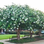 Crape_Myrtle_Guy-539-of-47