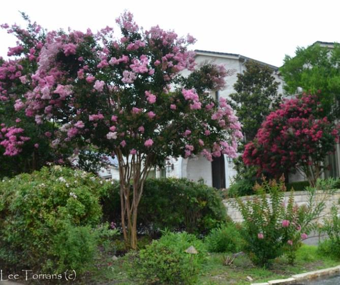 Pale Pink Crape Myrtles Lee Ann Torrans Gardeninglee Ann