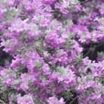 Purple Sage Shrub Texas