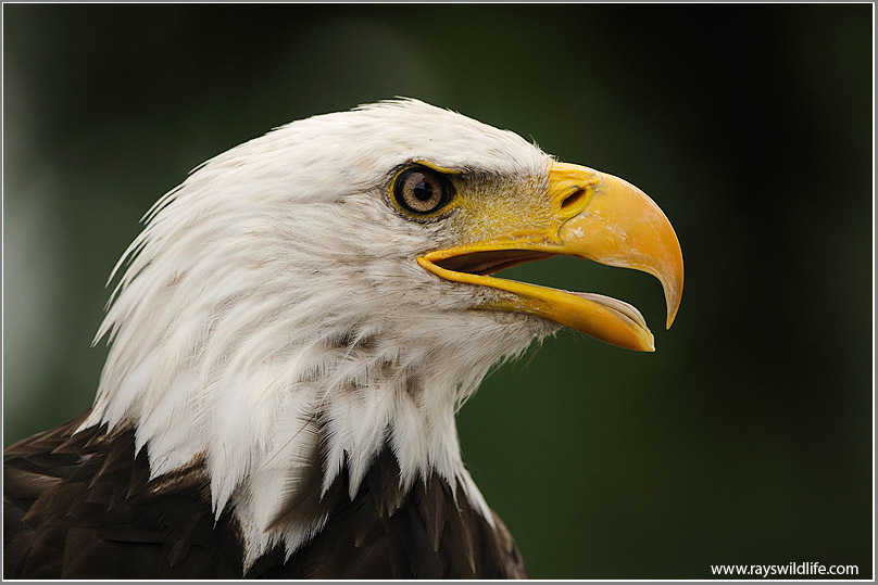 Fall Verse Wallpaper Eagle Photos Lee S Birdwatching Adventures Plus