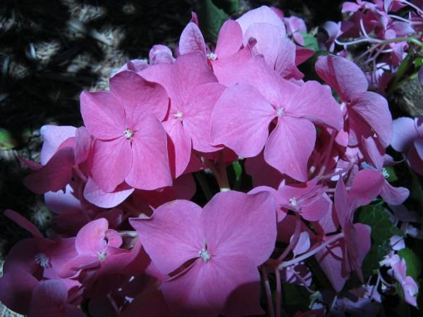 Do Hydrangeas Have Pollen