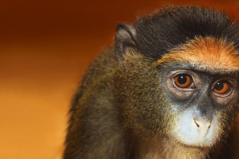 What will the monkey do next? © Marigo20   Dreamstime.com