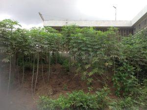 Une partie de la résidence transformée en champ de manioc.Ph. V.K