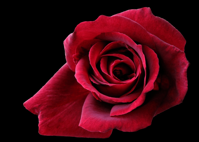 rose rouge rubis amour passion