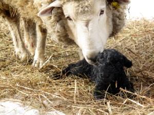 New lamb at Drumlin Farm