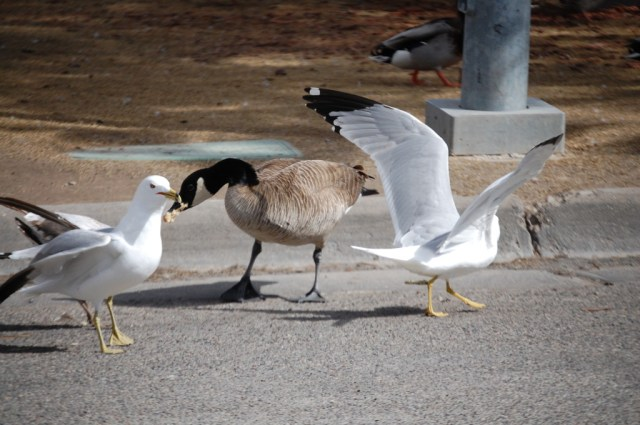 Fighting over bread - the goose wins