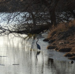 Herry the Heron visited us near Scott, Iowa
