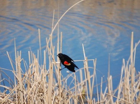 A Red-Winged Blackbird rests on straw by a pond along ND Hwy 1