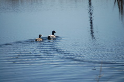 Male and female duck enjoy a swim in a pond along ND Hwy 1