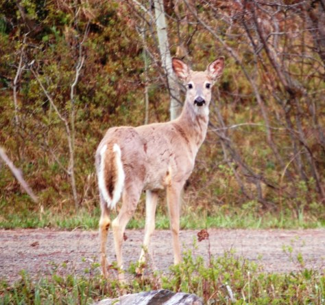 A nervous doe stares me down in Monarch, Montana