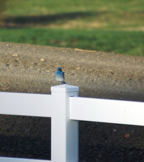 I had to stop and get this shot of the pretty male Mountain Bluebird