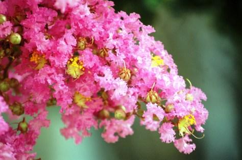 Flowering Tree in Vicksburg