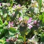 2016-03-18 15.36.27-2 Purple Nettle with RED POLLEN