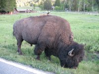 Gary's bison...