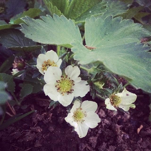 توت فرنگی هم گل داد و فیلان. #strawberry #pinole #home