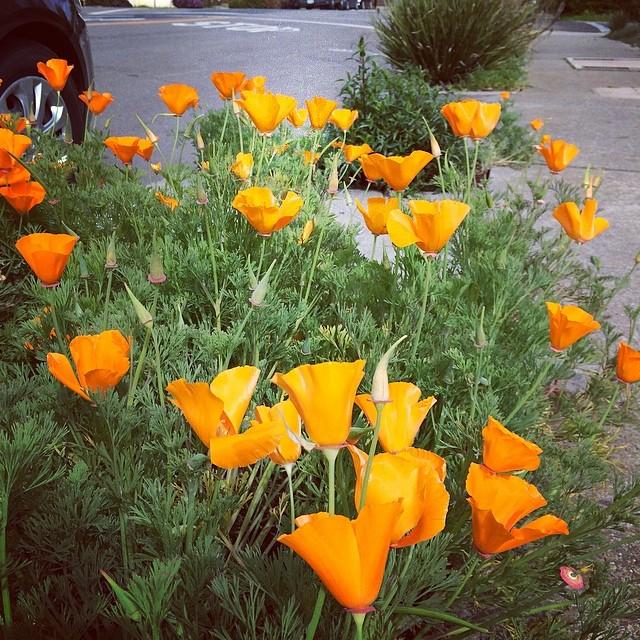 Califonia Poppy گلهای بومی کالیفرنیا
