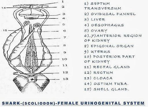 Perfect Shark Reproductive Anatomy Ensign - Image of internal organs