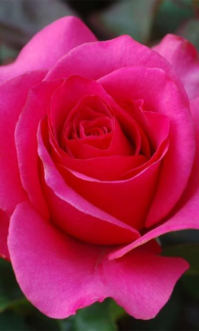 3D Love Rose Live Wallpaper - Android Apps on Google Play