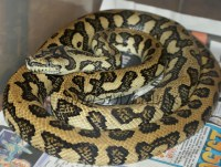 Wales Proven Adult Male 50% Jungle Jaguar Carpet Python ...