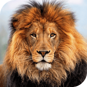 Lion HD Live Wallpaper - Android Apps on Google Play