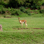 A Vicuna, a wild and increasingly rare version of the llama and alpaca.
