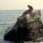 A roar from this sea lion echos across the water.