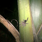 A hand-sized tarantula on a palm tree, just outside the dining hall.  It's waiting to eat you.