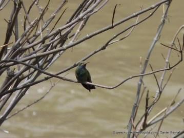 Colibrí coruscans en el Humedal La Libélula, Río Tunjuelo