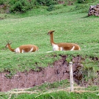More Vicuna.  We could only get within 20 feet.