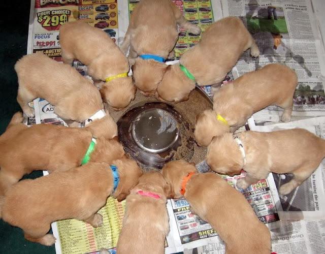 Chó Golden ăn gì? Cách nuôi chó Golden ở Việt Nam