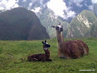 Baby alpaca and mom.