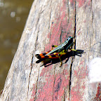 A colorful cricket!