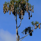 Hanging Oriole nests high up.
