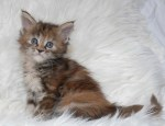 Bearcloud Easy Tiger, torbie female @ 6 weeks