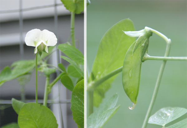 growing peas - pea pod and flowers