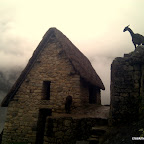 Alpacas inhabit Machu Picchu at the pinacle of the earth.