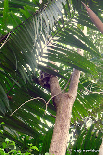 This baby sloth was rescued from a whirlpool and released on the grounds of the lodge.  This is 10 feet from our room!