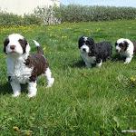Gordo-blossom pups en Suecia copia.jpg