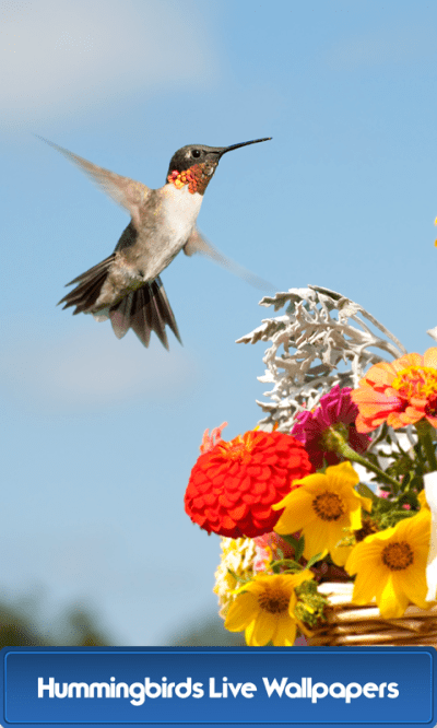 Hummingbirds Live Wallpapers - Android Apps on Google Play