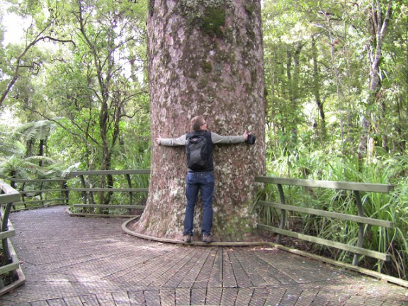 Top things to do in Northland: Kauri trees in Northland