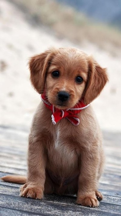 Puppies Live Wallpaper 🐶 Cute Puppy Pictures - Android Apps on Google Play
