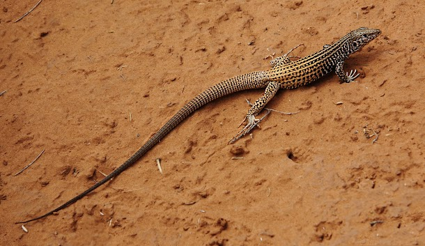 Canyonlands Lizard One