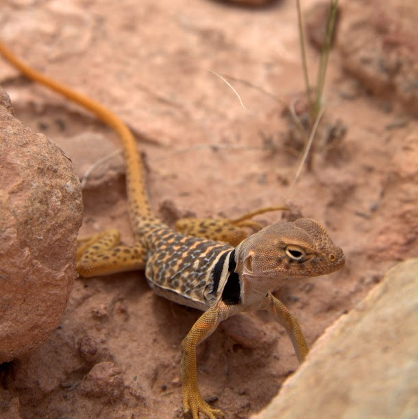 Canyonlands Lizard Three