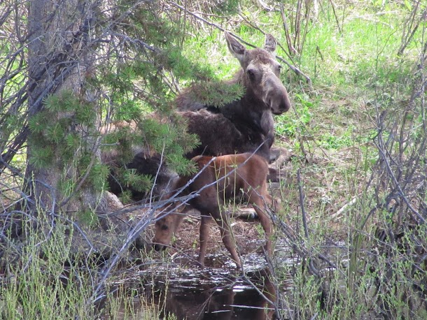 Mother moose with calf