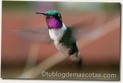 Colibrí Chaetocercus mulsant