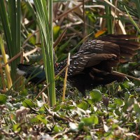 Limpkin: A Unique Florida Specialty