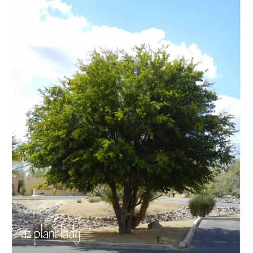 Medium Crop Of Texas Ebony Tree